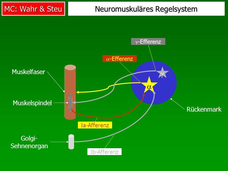 MC: Wahr & Steu Muskelfaser Muskelspindel Rückenmark Neuromuskuläres Regelsystem a-Afferenz -Efferenz -Efferenz b-Afferenz Golgi- Sehnenorgan