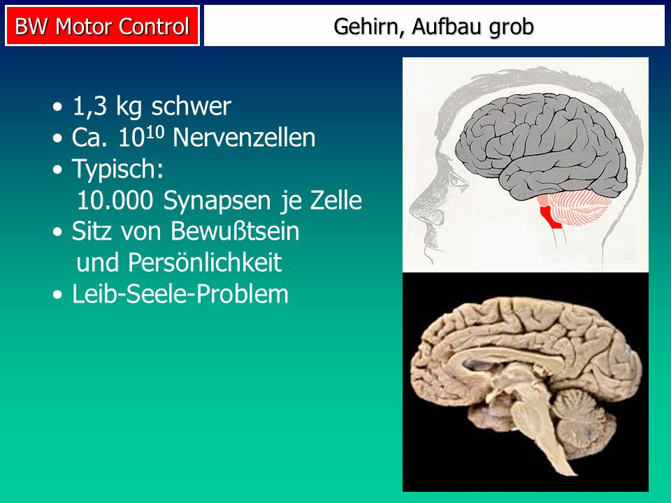 BW Motor Control Gehirn, Aufbau grob 1,3 kg schwer Ca. 10 10 Nervenzellen Typisch: 10.000 Synapsen je Zelle Sitz von Bewußtsein und Persönlichkeit Lei