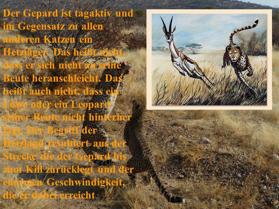 Der Gepard ist tagaktiv und im Gegensatz zu allen anderen Katzen ein Hetzjäger. Das heißt nicht, dass er sich nicht an seine Beute heranschleicht. Das