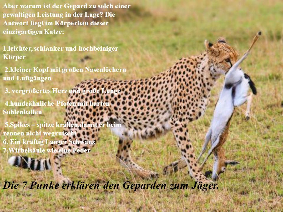 Die 7 Punke erklären den Geparden zum Jäger. Aber warum ist der Gepard zu solch einer gewaltigen Leistung in der Lage? Die Antwort liegt im Körperbau