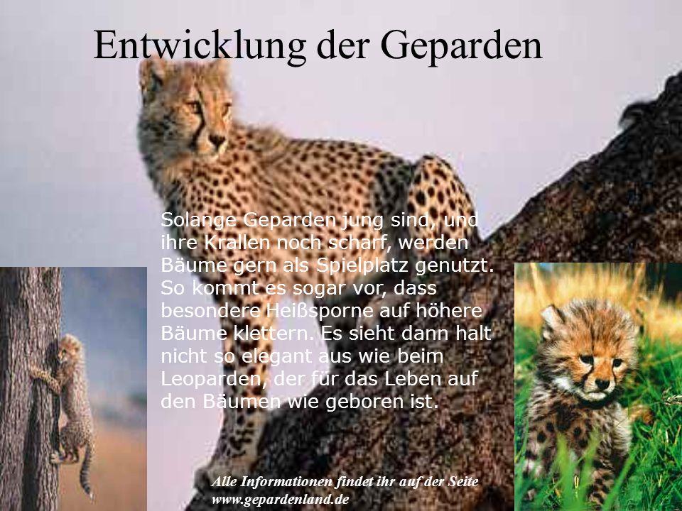 Entwicklung der Geparden Solange Geparden jung sind, und ihre Krallen noch scharf, werden Bäume gern als Spielplatz genutzt. So kommt es sogar vor, da