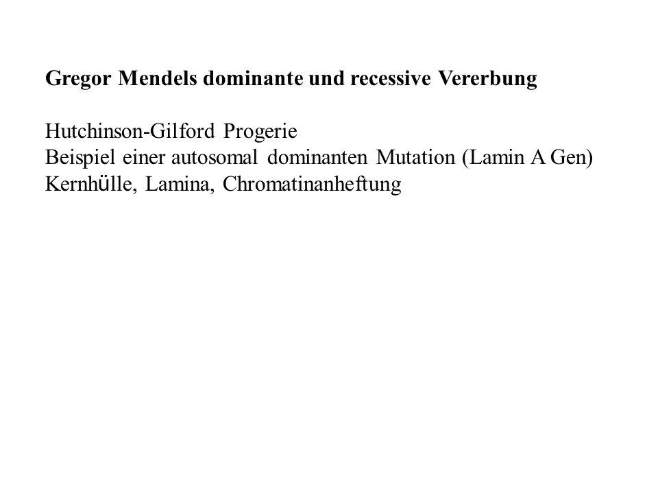 Gregor Mendels dominante und recessive Vererbung Hutchinson-Gilford Progerie Beispiel einer autosomal dominanten Mutation (Lamin A Gen) Kernh ü lle, L