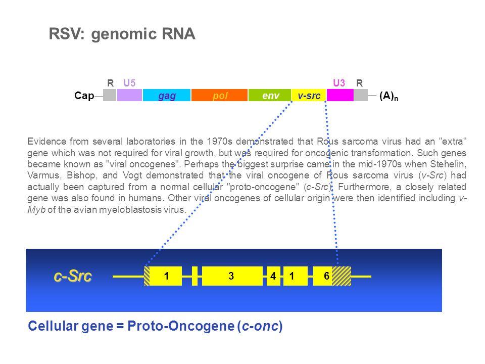 Cap (A) n gagpolenv RU5U3R Reverse transcription gagpolenv RU5U3 RU5 LTRLTR ABCDEF FEDCBA CATT GTAA AATG TTAC Integration ABCDEF FEDCBA CA GT ABCDEF FEDCBA TG AC Virus-RNA Virus-dsDNA