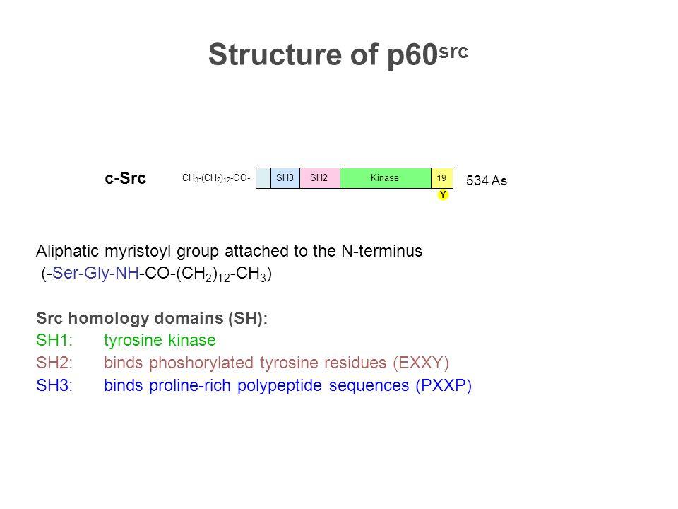 Protein phosphorylation Serine 90 % COOH H 3 N + -C-H CH 2 OH COO - H 3 N + -C-H H 2 C-O-P=O OH O-O- ATP Threonine 10 % ATP COOH H 3 N + -C-H CH 2 OH CH 3 Tyrosine 0.05 % COOH H 3 N + -C-H CH 2 OH COOH H 3 N + -C-H CH 2 O-P=O O OH