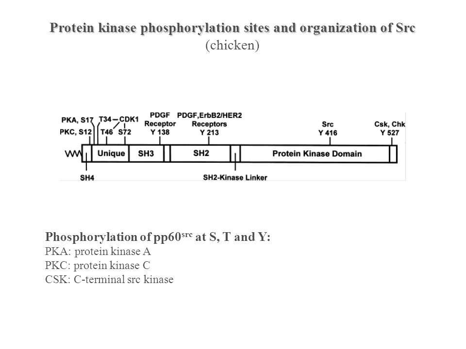 ATP SH2 SH3 P Y active protein tyrosine kinase Y
