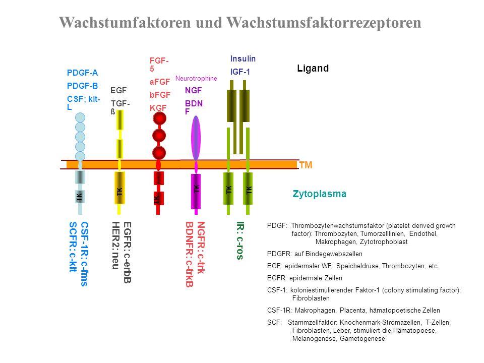 Geschichte der Tumorgene 1911 Rous Sarcoma Virus (RSV) wird entdeckt 1970 RSV kodiert ein transformierendes Gen (v-src) 1976v-src stammt von einem zellulären Gen (c-src) 1978src kodiert für eine Proteinkinase 1979chemisch transformierte Zellen enthalten ein aktiviertes Onkogen Ras bindet Guaninnukleotide 1980src-Kinase phosphoryliert Tyrosinreste 1981Virale Insertion aktiviert c-myc-Onkogen 1982Punktmutation aktiviert ras in menschlichem Blasentumor 1983v-sis kodiert für einen Wachstumsfaktor, Onkogene kooperieren zur Zelltransformation 1984v-erb-B kodiert für einen verkürzten Wachstumsfaktorrezeptor 1986Genprodukte von transformierenden Genen der DNA-Viren binden Rb, BCL-2 inhibiert programmierten Zelltod 1989TP53 ist ein Tumorsuppressorgen 1991Rb ist an der Regulation des Zellzyklus beteiligt 1993hereditäres Kolonkarzinom wird durch defekte DNA-Mismatch- Reparaturgene verursacht 1994Brustkrebs-Suszeptibilitätsgen (BRCA-1) wird kloniert