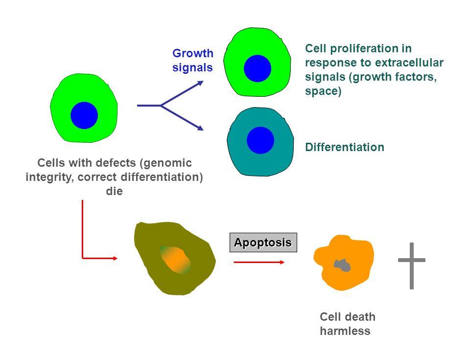 History of tumor genes 1911 Rous Sarcoma Virus (RSV) wird entdeckt 1970 RSV kodiert ein transformierendes Gen (v-src) 1976v-src stammt von einem zellulären Gen (c-src) 1978src kodiert für eine Proteinkinase 1979chemisch transformierte Zellen enthalten ein aktiviertes Onkogen Ras bindet Guaninnukleotide 1980src-Kinase phosphoryliert Tyrosinreste 1981Virale Insertion aktiviert c-myc-Onkogen 1982Punktmutation aktiviert ras in menschlichem Blasentumor 1983v-sis kodiert für einen Wachstumsfaktor, Onkogene kooperieren zur Zelltransformation 1984v-erb-B kodiert für einen verkürzten Wachstumsfaktorrezeptor 1986Genprodukte von transformierenden Genen der DNA-Viren binden Rb, BCL-2 inhibiert programmierten Zelltod 1989TP53 ist ein Tumorsuppressorgen 1991Rb ist an der Regulation des Zellzyklus beteiligt 1993hereditäres Kolonkarzinom wird durch defekte DNA-Mismatch- Reparaturgene verursacht 1994Brustkrebs-Suszeptibilitätsgen (BRCA-1) wird kloniert 1911 Rous Sarcoma Virus (RSV) wird entdeckt 1970 RSV kodiert ein transformierendes Gen (v-src) 1976v-src stammt von einem zellulären Gen (c-src) 1978src kodiert für eine Proteinkinase 1979chemisch transformierte Zellen enthalten ein aktiviertes Onkogen Ras bindet Guaninnukleotide 1980src-Kinase phosphoryliert Tyrosinreste