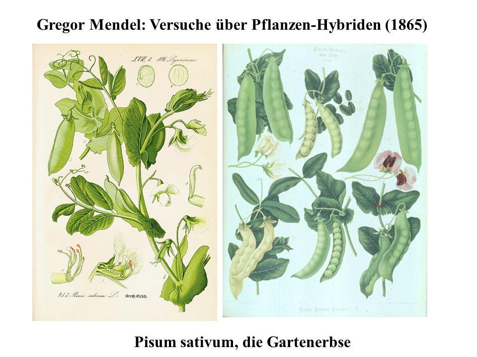 Gregor Mendel: Versuche über Pflanzen-Hybriden (1865) Pisum sativum, die Gartenerbse