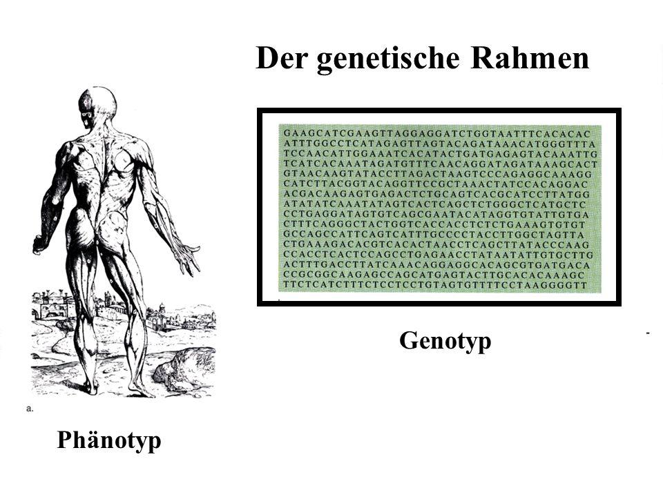 469 Der genetische Rahmen Phänotyp Genotyp