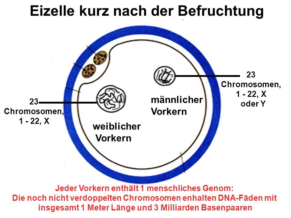 weiblicher Vorkern männlicher Vorkern Eizelle kurz nach der Befruchtung 23 Chromosomen, 1 - 22, X 23 Chromosomen, 1 - 22, X oder Y Jeder Vorkern enthält 1 menschliches Genom: Die noch nicht verdoppelten Chromosomen enhalten DNA-Fäden mit insgesamt 1 Meter Länge und 3 Milliarden Basenpaaren