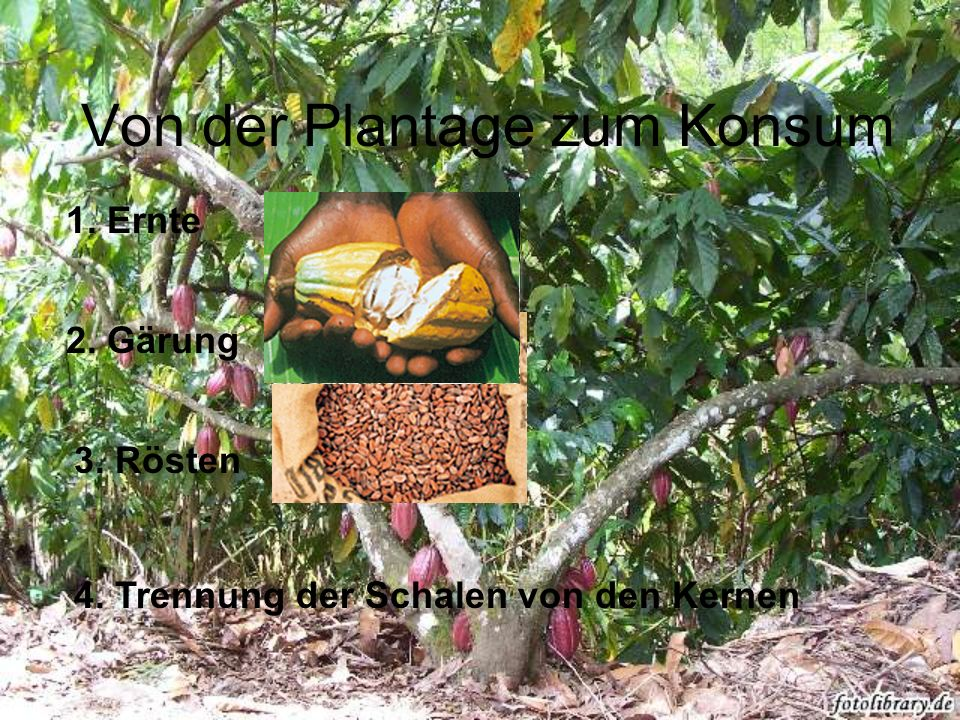 Von der Plantage zum Konsum 1. Ernte 2. Gärung 3. Rösten 4. Trennung der Schalen von den Kernen