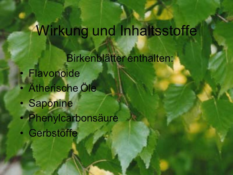 Wirkung und Inhaltsstoffe Birkenblätter enthalten: Flavonoide Ätherische Öle Saponine Phenylcarbonsäure Gerbstoffe