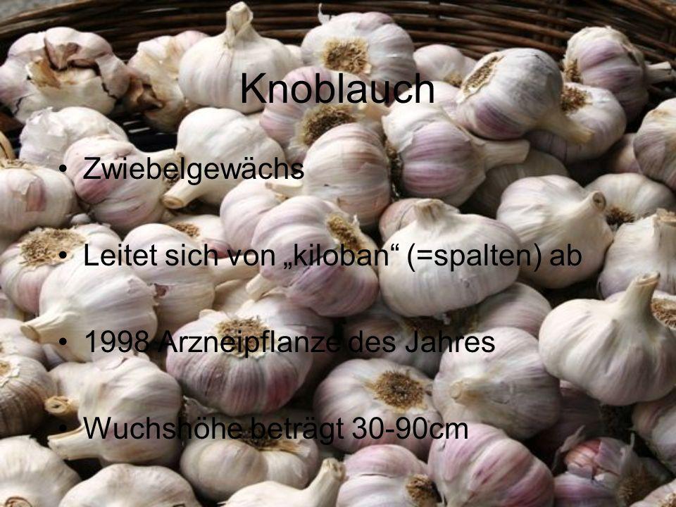 Knoblauch Zwiebelgewächs Leitet sich von kiloban (=spalten) ab 1998 Arzneipflanze des Jahres Wuchshöhe beträgt 30-90cm