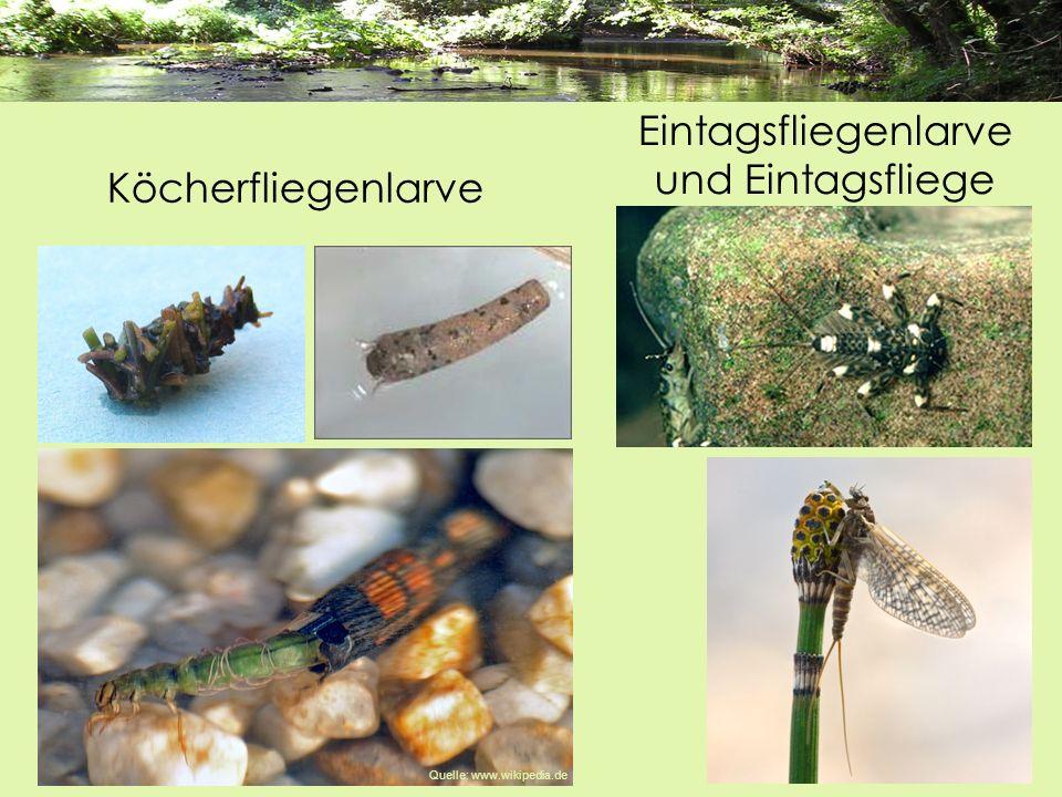 Köcherfliegenlarve Eintagsfliegenlarve und Eintagsfliege Quelle: www.wikipedia.de