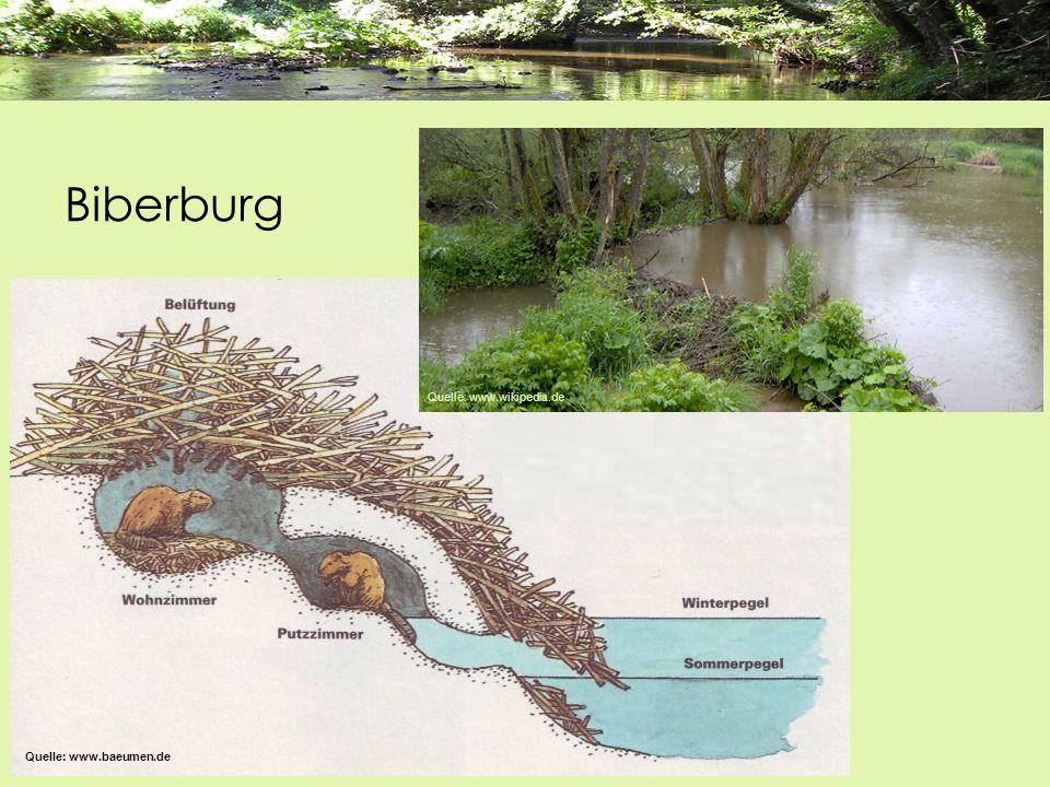 Biberburg Quelle: www.baeumen.de Quelle: www.wikipedia.de