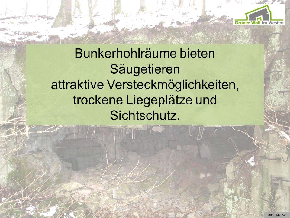 Bunkerhohlräume bieten Säugetieren attraktive Versteckmöglichkeiten, trockene Liegeplätze und Sichtschutz. BUND KG Trier