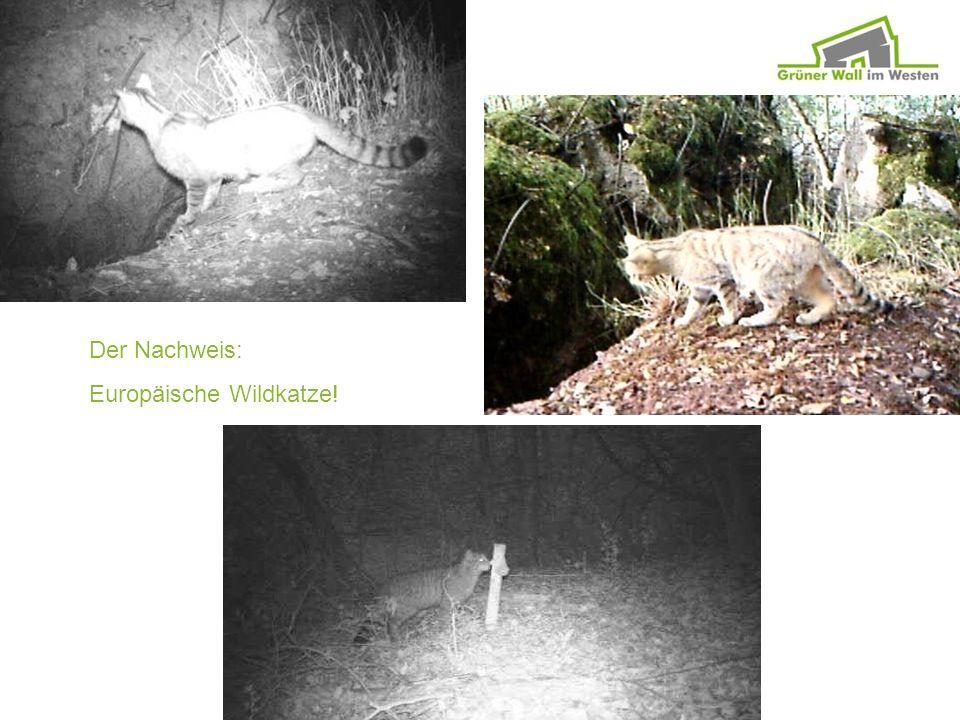Der Nachweis: Europäische Wildkatze!