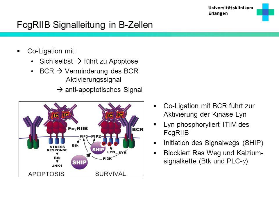 FcgRIIB Signalleitung in B-Zellen Co-Ligation mit: Sich selbst führt zu Apoptose BCR Verminderung des BCR Aktivierungssignal anti-apoptotisches Signal
