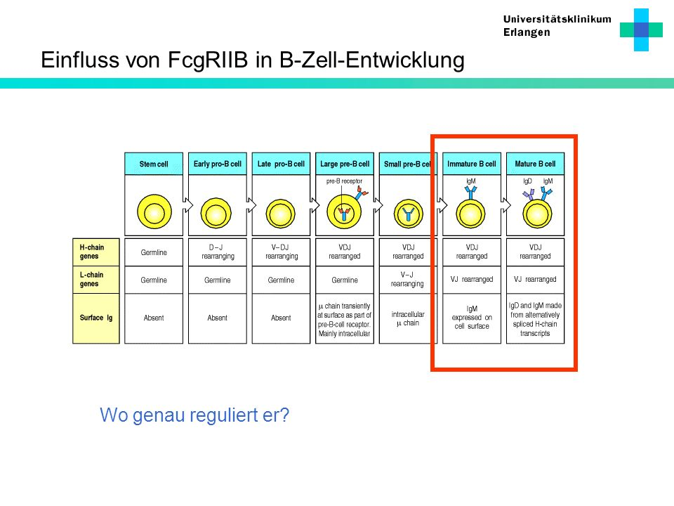 Einfluss von FcgRIIB in B-Zell-Entwicklung Wo genau reguliert er?