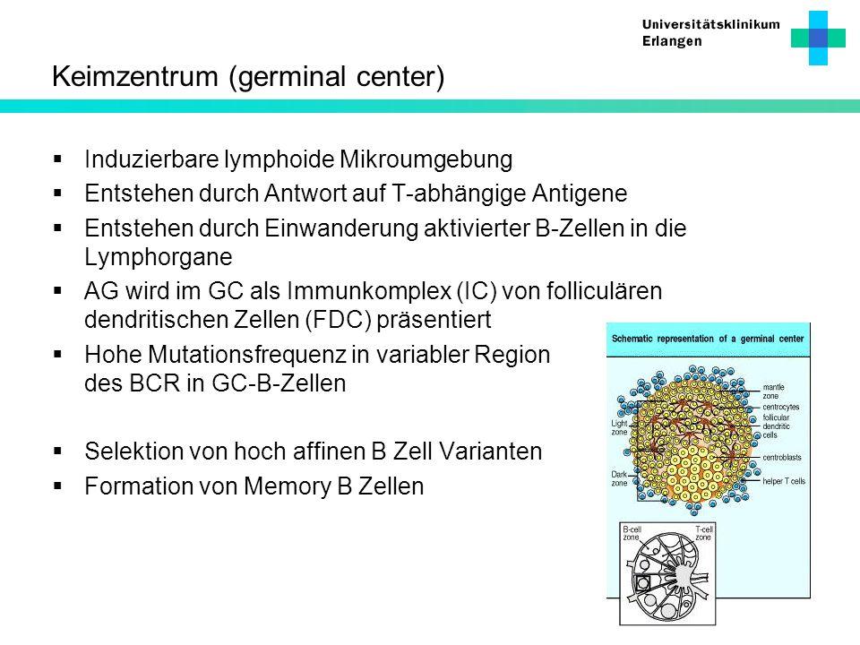 Keimzentrum (germinal center) Induzierbare lymphoide Mikroumgebung Entstehen durch Antwort auf T-abhängige Antigene Entstehen durch Einwanderung aktiv