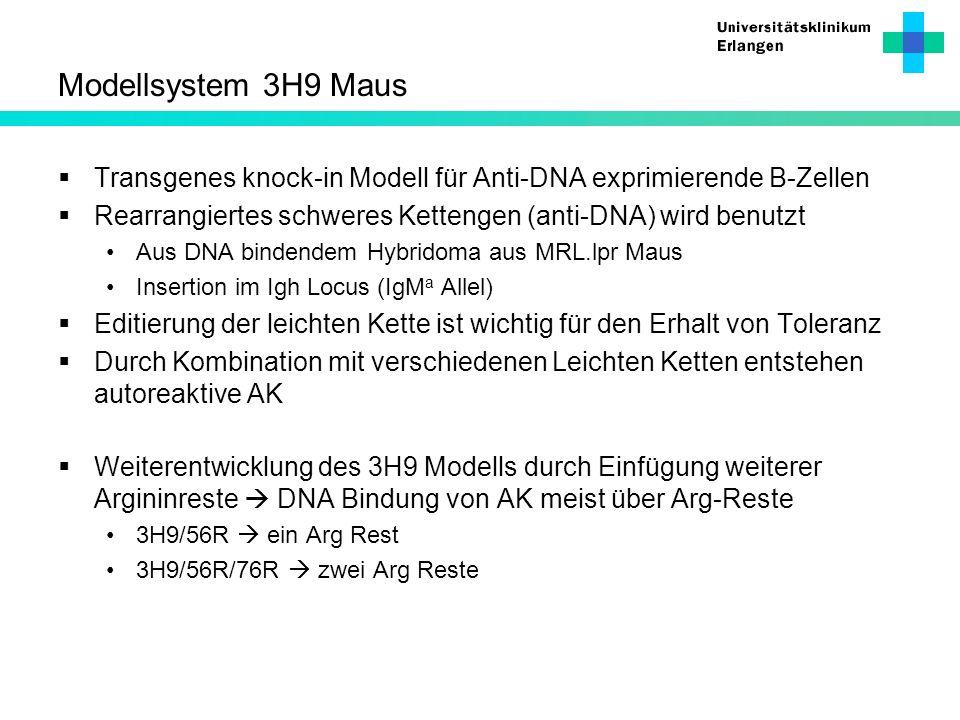 Modellsystem 3H9 Maus Transgenes knock-in Modell für Anti-DNA exprimierende B-Zellen Rearrangiertes schweres Kettengen (anti-DNA) wird benutzt Aus DNA