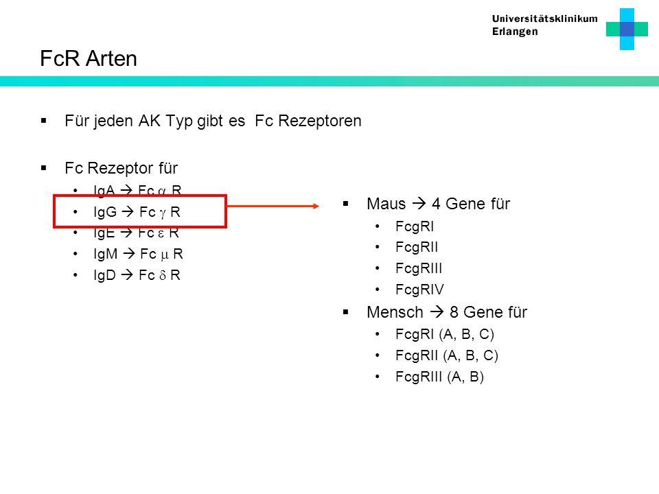 FcR Arten Für jeden AK Typ gibt es Fc Rezeptoren Fc Rezeptor für IgA Fc R IgG Fc R IgE Fc R IgM Fc R IgD Fc R Maus 4 Gene für FcgRI FcgRII FcgRIII Fcg