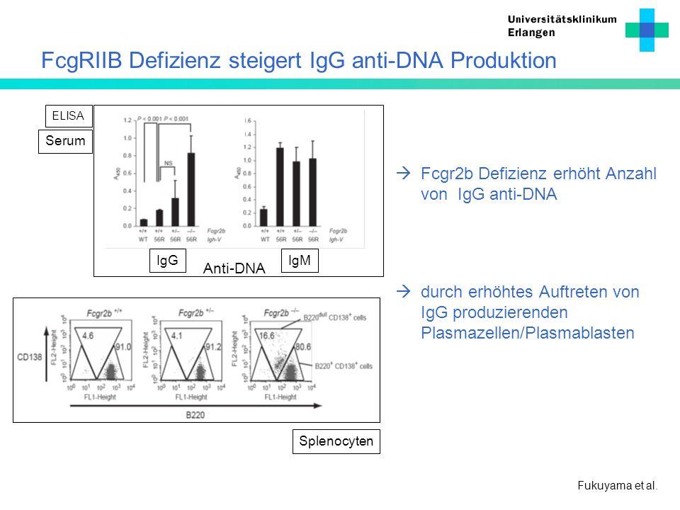FcgRIIB Defizienz steigert IgG anti-DNA Produktion Fcgr2b Defizienz erhöht Anzahl von IgG anti-DNA durch erhöhtes Auftreten von IgG produzierenden Pla