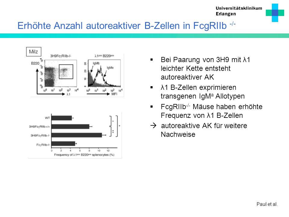 Erhöhte Anzahl autoreaktiver B-Zellen in FcgRIIb -/- Bei Paarung von 3H9 mit λ1 leichter Kette entsteht autoreaktiver AK λ1 B-Zellen exprimieren trans