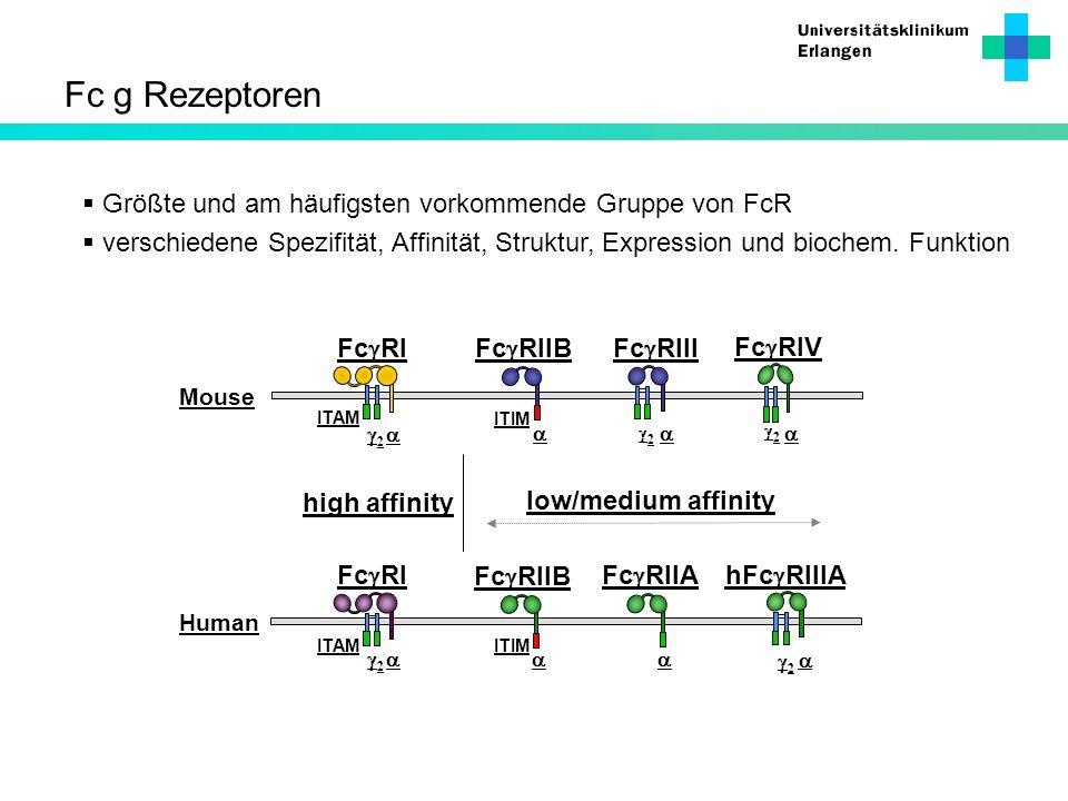 Fc g Rezeptoren Größte und am häufigsten vorkommende Gruppe von FcR verschiedene Spezifität, Affinität, Struktur, Expression und biochem. Funktion ITI