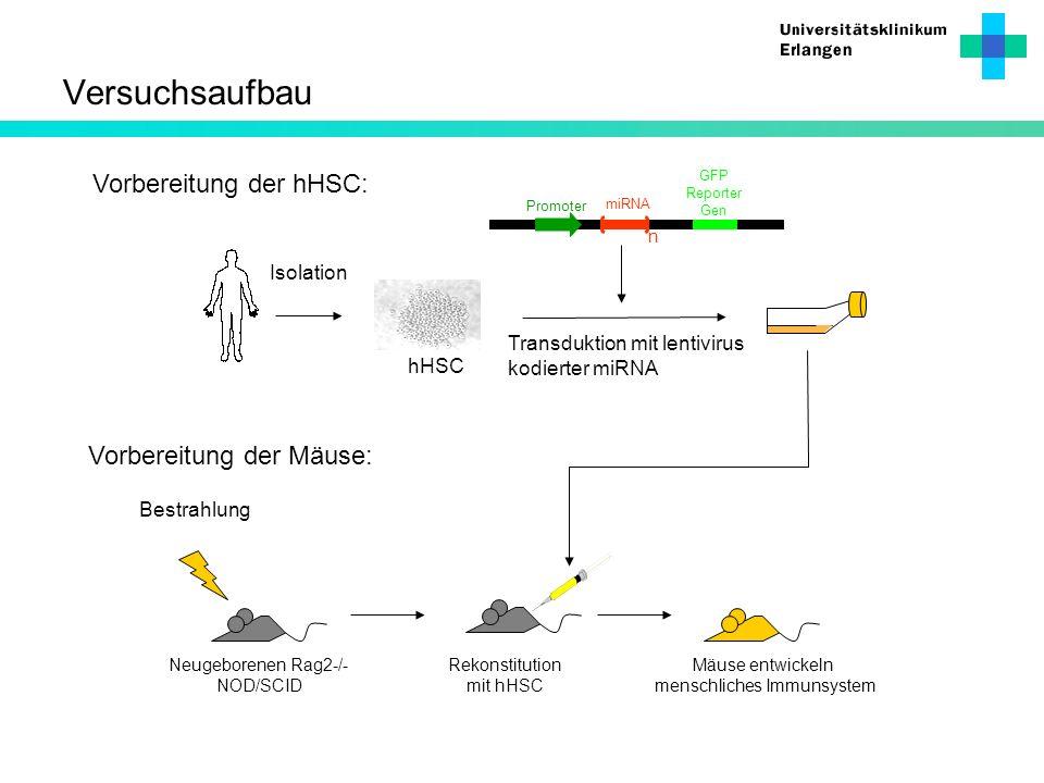 Versuchsaufbau Bestrahlung Neugeborenen Rag2-/- NOD/SCID Rekonstitution mit hHSC Mäuse entwickeln menschliches Immunsystem Vorbereitung der hHSC: Isol