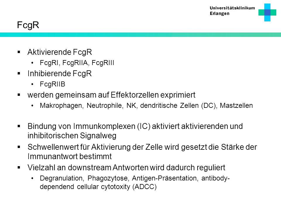 FcgR Aktivierende FcgR FcgRI, FcgRIIA, FcgRIII Inhibierende FcgR FcgRIIB werden gemeinsam auf Effektorzellen exprimiert Makrophagen, Neutrophile, NK,