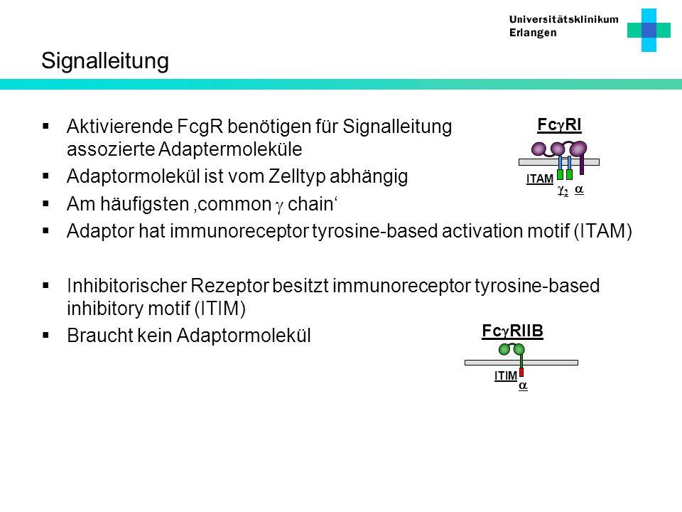 Signalleitung Aktivierende FcgR benötigen für Signalleitung assozierte Adaptermoleküle Adaptormolekül ist vom Zelltyp abhängig Am häufigsten common ch