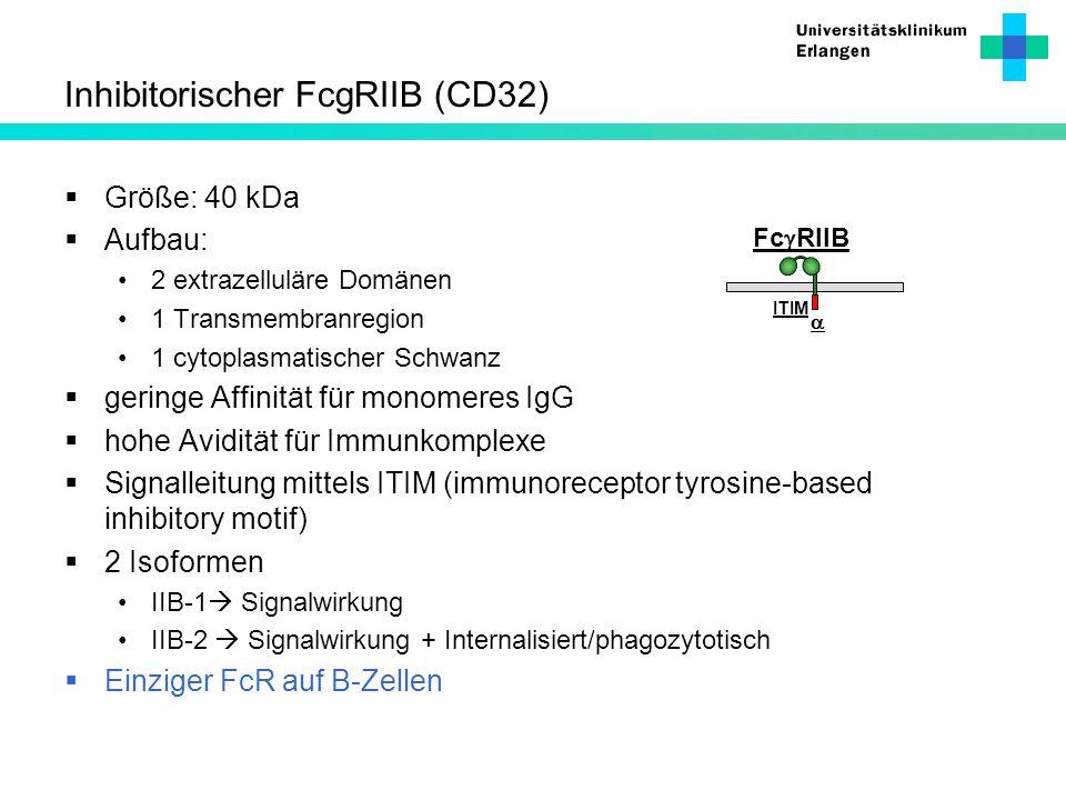 Inhibitorischer FcgRIIB (CD32) Größe: 40 kDa Aufbau: 2 extrazelluläre Domänen 1 Transmembranregion 1 cytoplasmatischer Schwanz geringe Affinität für m