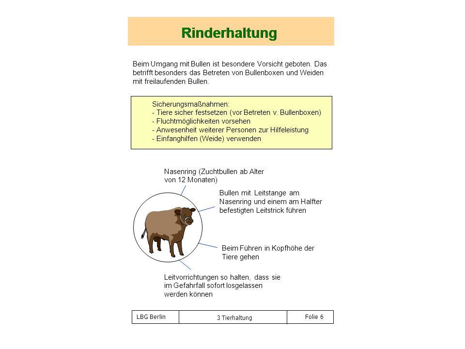 3 Tierhaltung Folie 6 Rinderhaltung Nasenring (Zuchtbullen ab Alter von 12 Monaten) Bullen mit Leitstange am Nasenring und einem am Halfter befestigte
