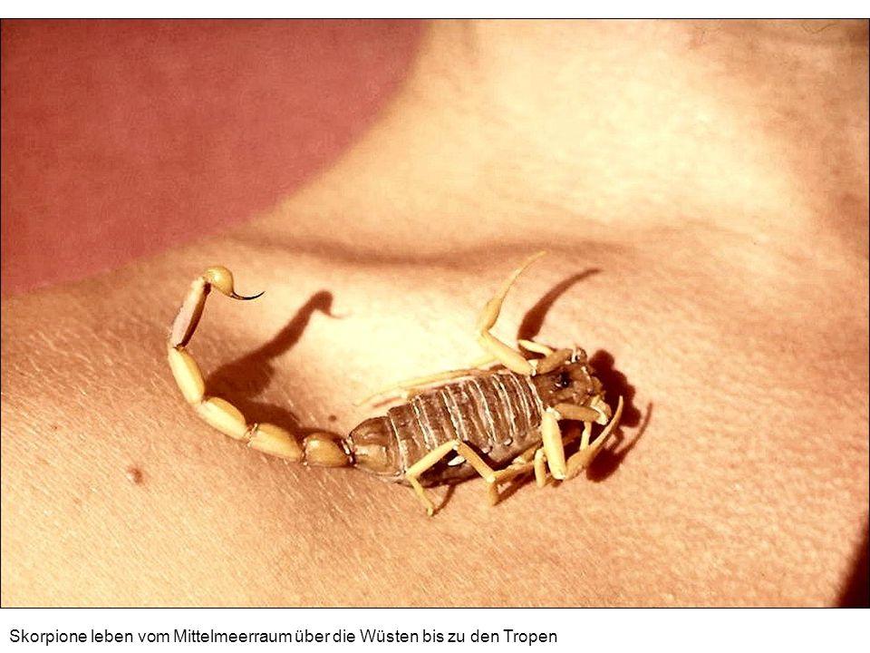 Skorpione leben vom Mittelmeerraum über die Wüsten bis zu den Tropen