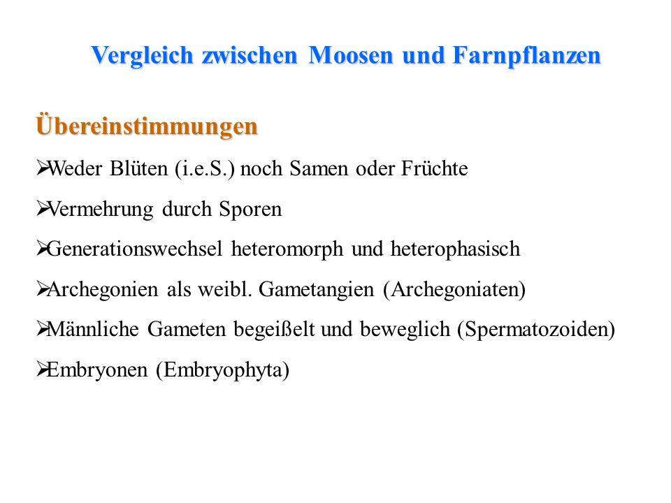 thalloses Lebermoosfolioses LebermoosLaubmoosfolioses Lebermoos Unterschiede Sporophyt mit Kormusorganisation (Wurzel, Sproßachse, Blätter) Gefäßsporenpflanzen oder Gefäßkryptogamen (die einzigen) Beide Generationen (Gametophyt und Sporophyt) selbständig Neben Isosporie auch Heterosporie Vergleich zwischen Moosen und Farnpflanzen