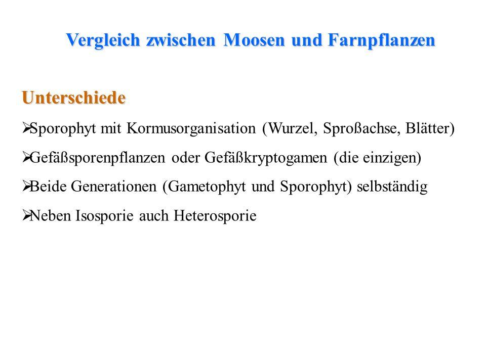 thalloses Lebermoosfolioses LebermoosLaubmoosfolioses Lebermoos Unterschiede Sporophyt mit Kormusorganisation (Wurzel, Sproßachse, Blätter) Gefäßspore