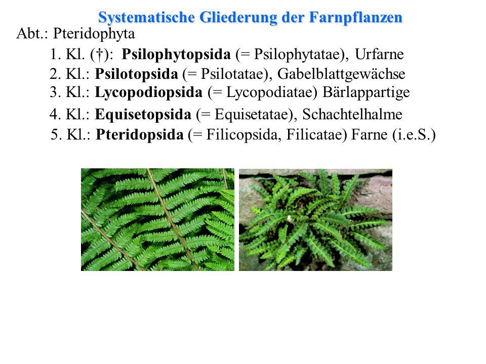 Systematische Gliederung der Farnpflanzen Abt.: Pteridophyta 1. Kl. (): Psilophytopsida (= Psilophytatae), Urfarne 2. Kl.: Psilotopsida (= Psilotatae)