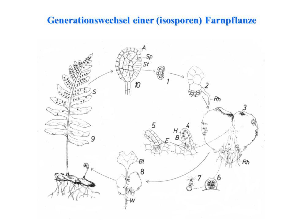Generationswechsel einer (isosporen) Farnpflanze
