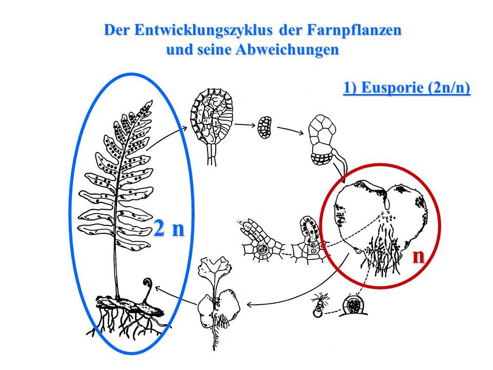 folioses Lebermoos Der Entwicklungszyklus der Farnpflanzen und seine Abweichungen 2 n n 1) Eusporie (2n/n)
