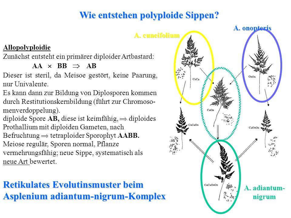 Allopolyploidie Zunächst entsteht ein primärer diploider Artbastard: AA BB AB Dieser ist steril, da Meisoe gestört, keine Paarung, nur Univalente. Es