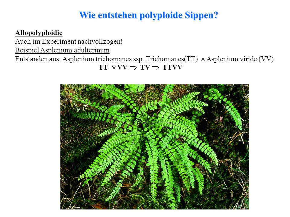 folioses Lebermoos Allopolyploidie Auch im Experiment nachvollzogen! Beispiel Asplenium adulterinum Entstanden aus: Asplenium trichomanes ssp. Trichom