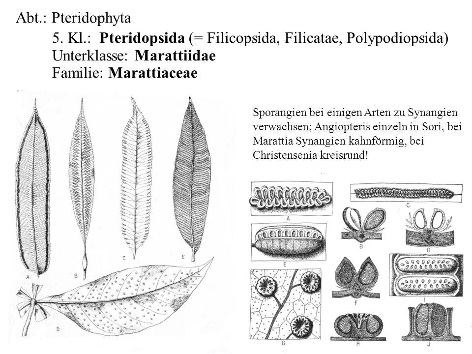 Abt.: Pteridophyta 5. Kl.: Pteridopsida (= Filicopsida, Filicatae, Polypodiopsida) Unterklasse: Marattiidae Familie: Marattiaceae folioses Lebermoos S