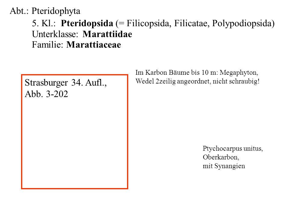 Abt.: Pteridophyta 5. Kl.: Pteridopsida (= Filicopsida, Filicatae, Polypodiopsida) Unterklasse: Marattiidae Familie: Marattiaceae folioses Lebermoos I