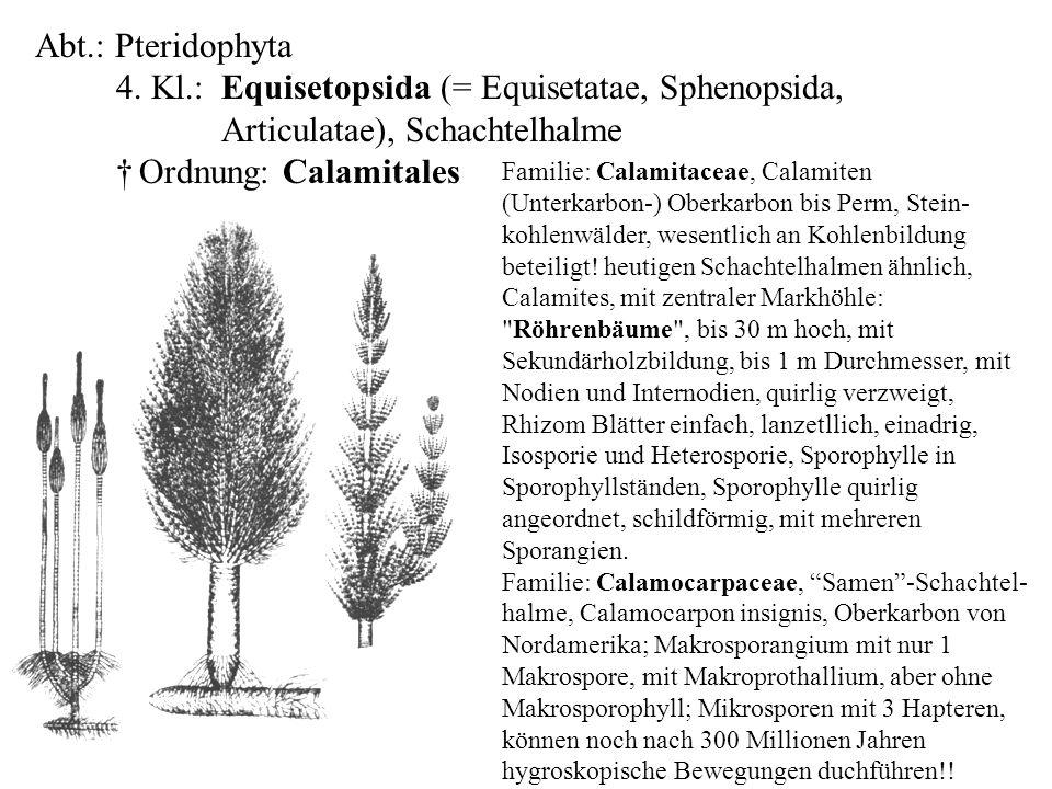 folioses Lebermoos Familie: Calamitaceae, Calamiten (Unterkarbon-) Oberkarbon bis Perm, Stein- kohlenwälder, wesentlich an Kohlenbildung beteiligt! he
