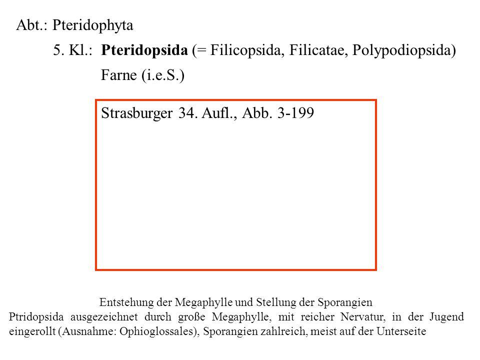 Abt.: Pteridophyta 5. Kl.: Pteridopsida (= Filicopsida, Filicatae, Polypodiopsida) Farne (i.e.S.) folioses Lebermoos Entstehung der Megaphylle und Ste