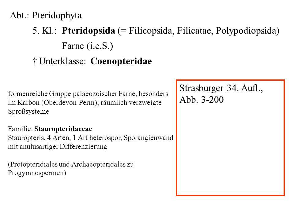 Abt.: Pteridophyta 5. Kl.: Pteridopsida (= Filicopsida, Filicatae, Polypodiopsida) Farne (i.e.S.) Unterklasse: Coenopteridae folioses Lebermoos formen