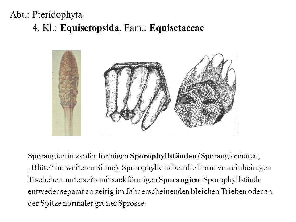 Abt.: Pteridophyta 4. Kl.: Equisetopsida, Fam.: Equisetaceae folioses Lebermoos Sporangien in zapfenförmigen Sporophyllständen (Sporangiophoren, Blüte