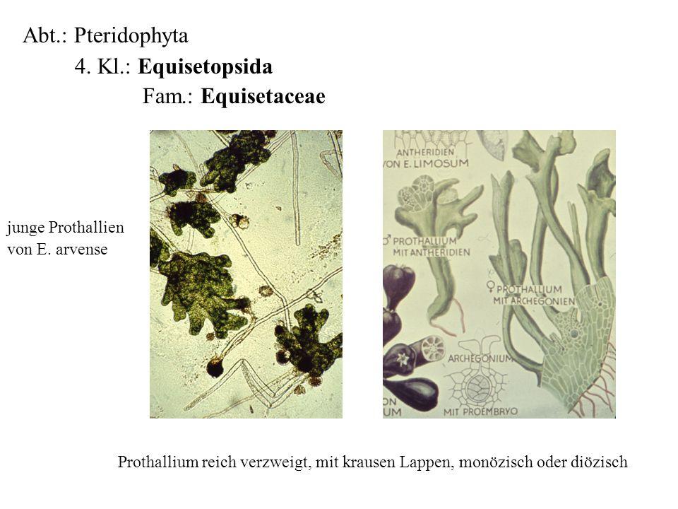 Abt.: Pteridophyta 4. Kl.: Equisetopsida Fam.: Equisetaceae folioses Lebermoos Prothallium reich verzweigt, mit krausen Lappen, monözisch oder diözisc