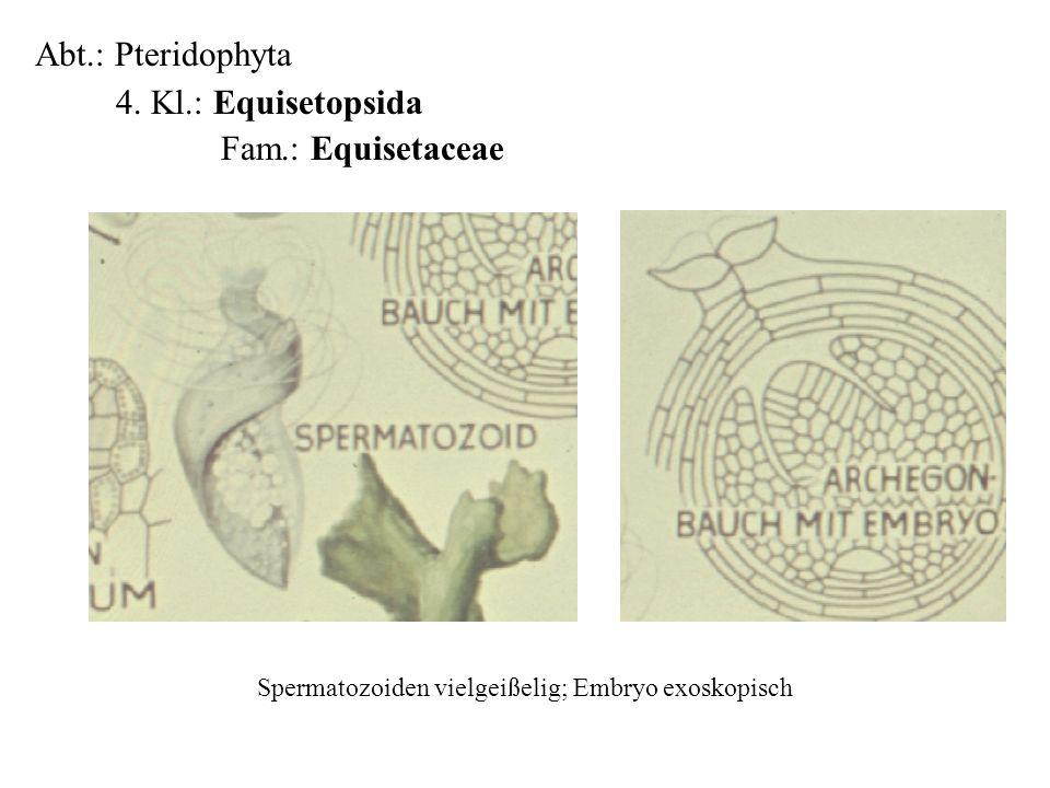 Abt.: Pteridophyta 4. Kl.: Equisetopsida Fam.: Equisetaceae folioses Lebermoos Spermatozoiden vielgeißelig; Embryo exoskopisch